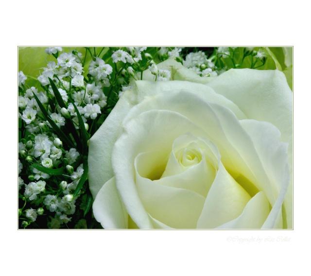 Weisse Rose  © Liz Collet